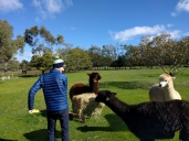 Australia House Sit Joe Feeding Alpacas