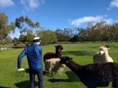 Australia House Sit Joe Feeding Alpacas